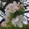 20. Äppelträd i blom utanför cc - service i Vaggeryd.  MVH Eva-Carin Magnusson Vaggeryd. 150623