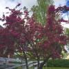 53. Blommande träd i Skillingaryd i slutet av maj. Foto: Emily Wickbom Nilsson. 150715