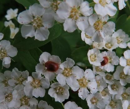7 IMG_3979 Familjen glansbaggar Cychramus luteus på spiré