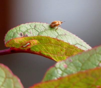 9 IMG_3887 Familjen glansbaggar Cychramus luteus