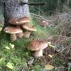 249. Den goda stensoppen. Augusti-september. Foto: Leif Grave-Müller. 150821
