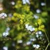 97. Blomma i maj. Foto: Alva Nordquist. 150806